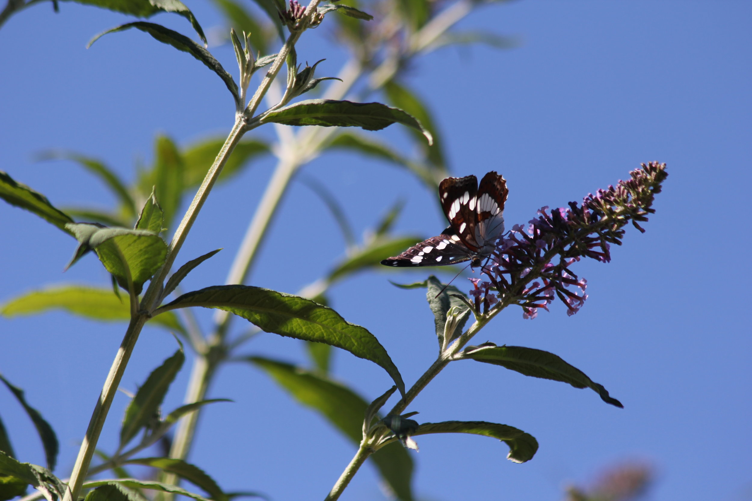 The buddleia on the east lawn attracts butterflies all summer.