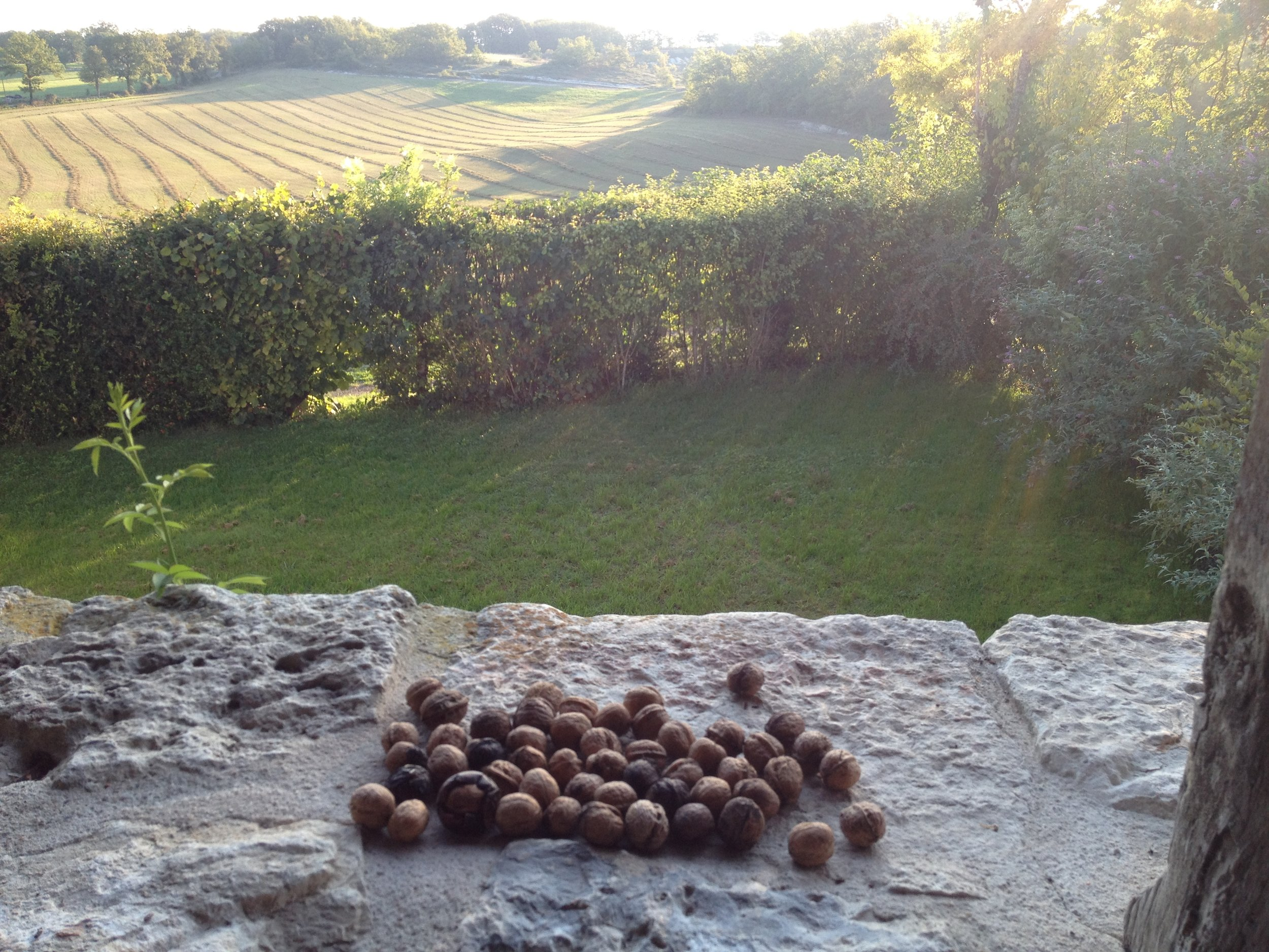 Walnuts collected from our trees.