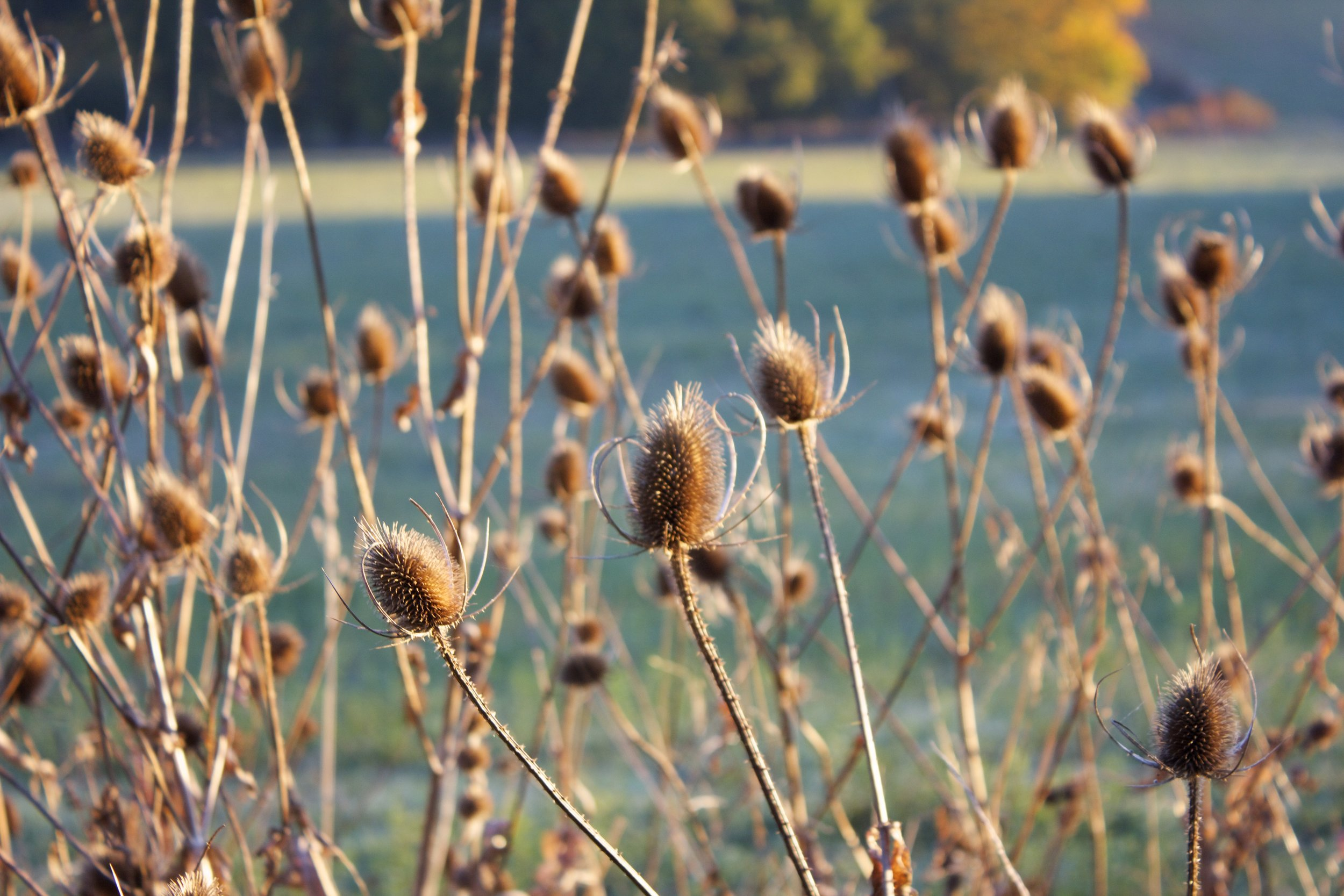 Teasels at the edge of the drive.