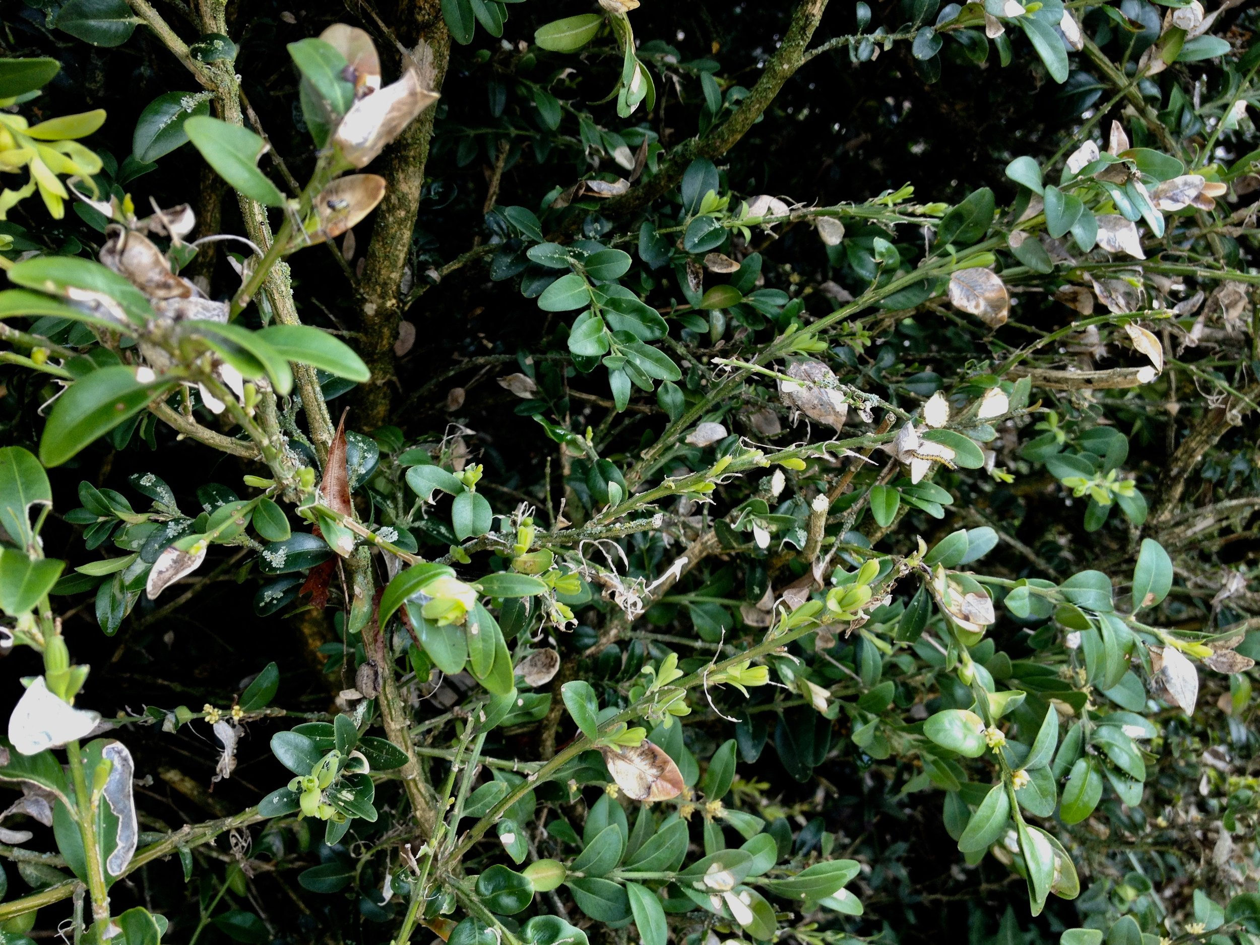 Here is a section of the doomed box hedge, look closely to find one of the caterpillars that caused all the problem! The box hedge which was almost 20 metres long has now been removed, pictures and more information on this sad situation is in the autumn newsletter, contact us if you would like to be on our FFQ Newsletter email list.