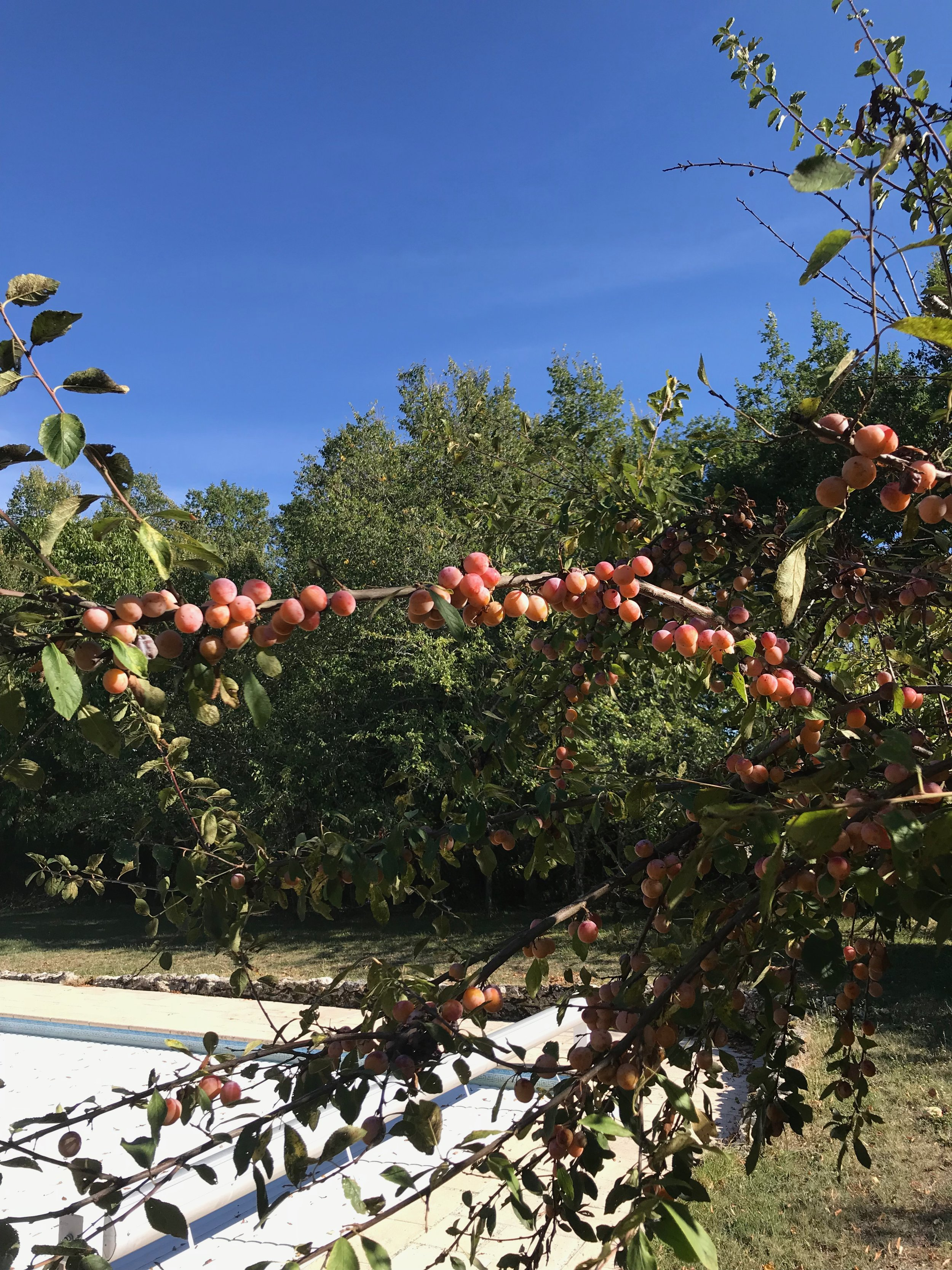Mirabelle tree at FFQ.