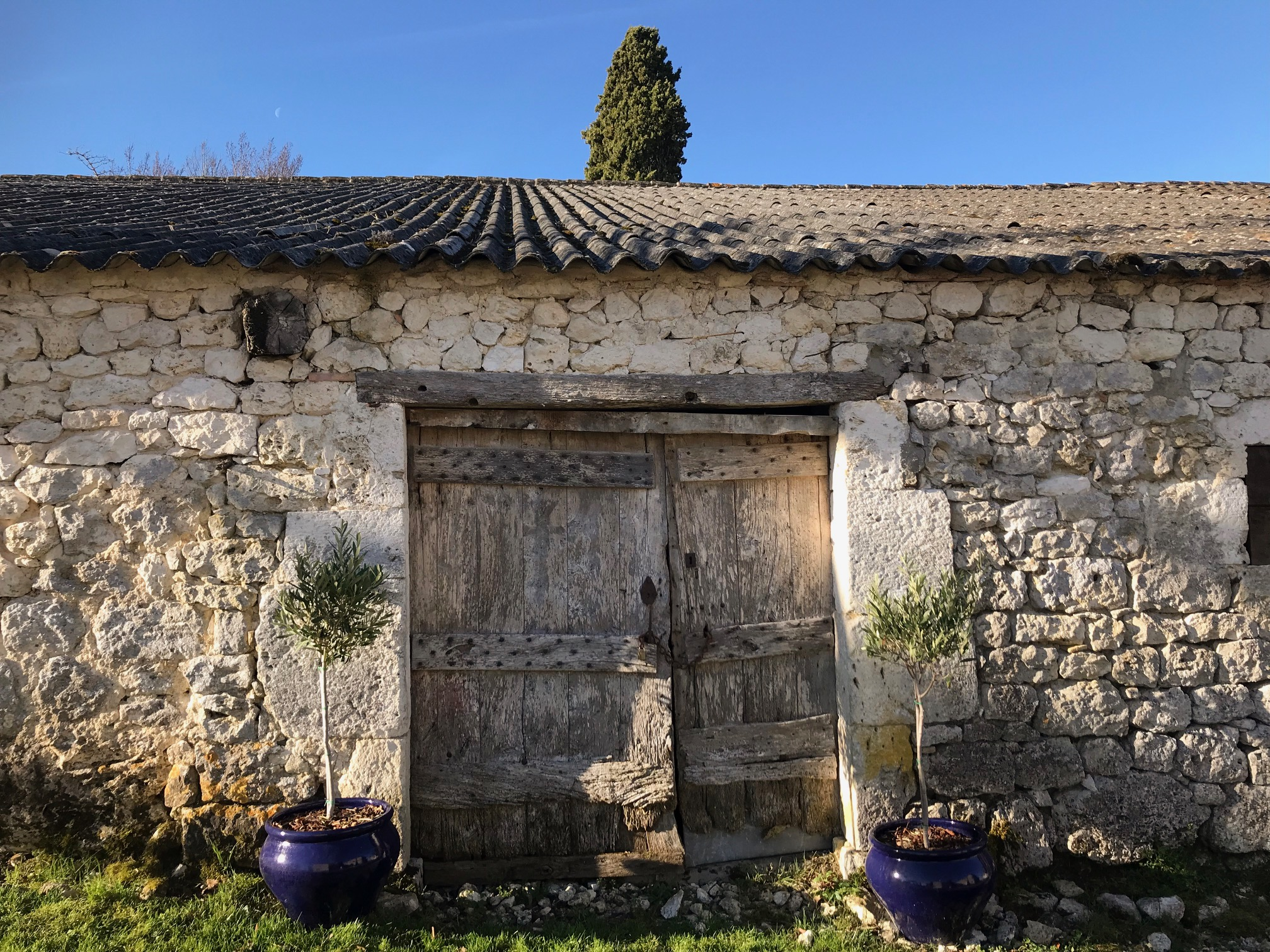 The olive trees have come out of their winter home and have a new spot at the entrance to the old barn.