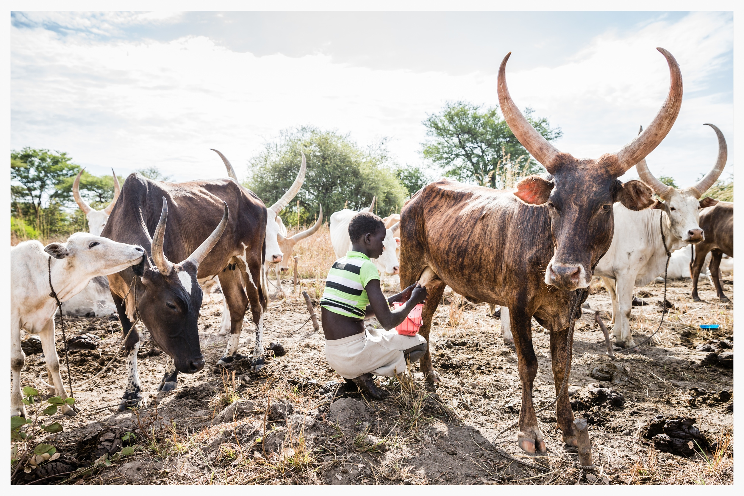 Milking cows, Lakatoc cattle camp, Tonj North, South Sudan  . Photo © Marcus Perkins