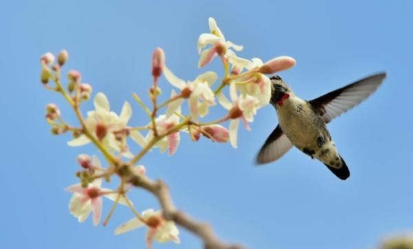 Cuban Bee Hummingbird (smallest bird in the world) | photo by Sergei Uriadnikov