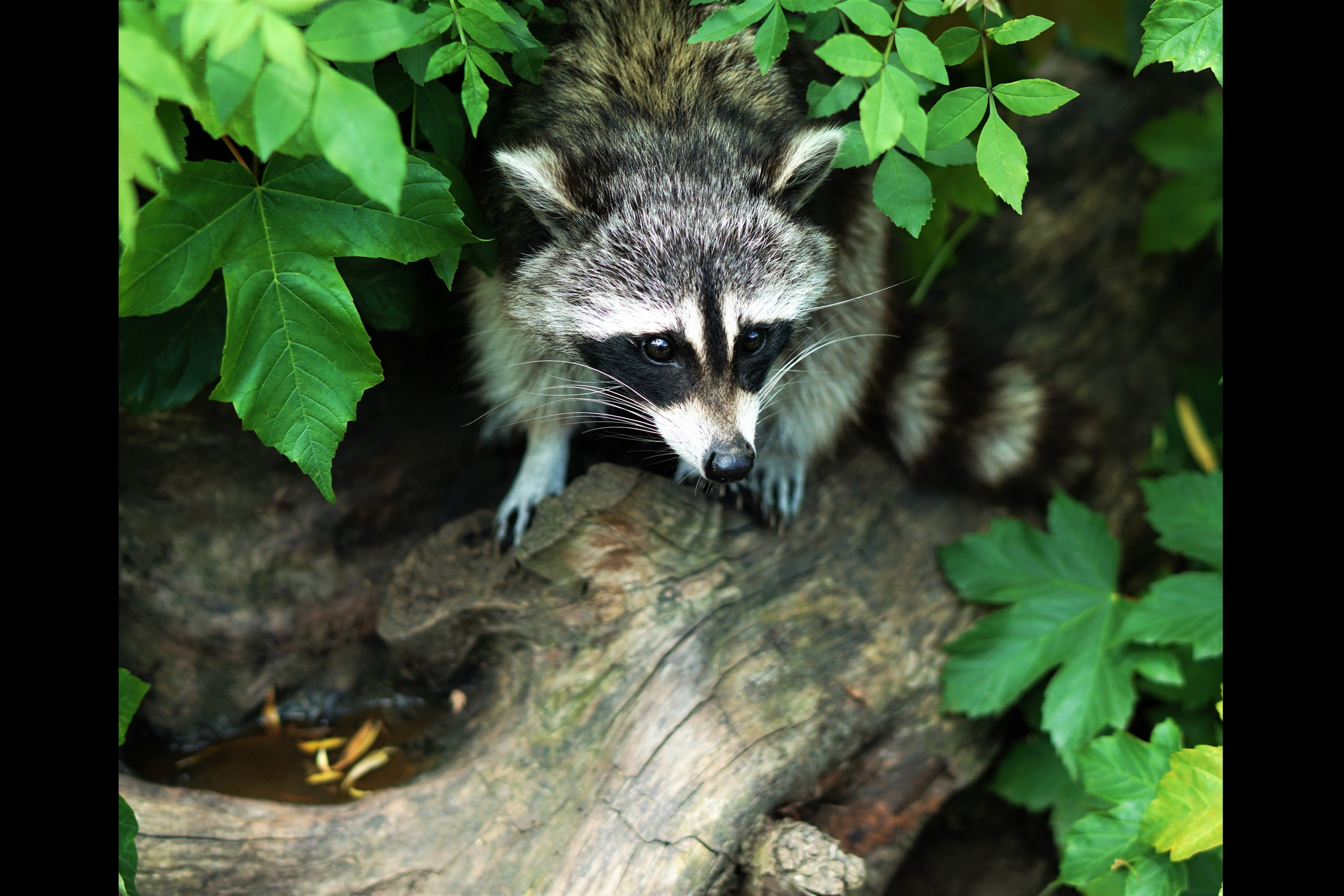 One of our writing prompts came from  this essay  about a girl and a raccoon.