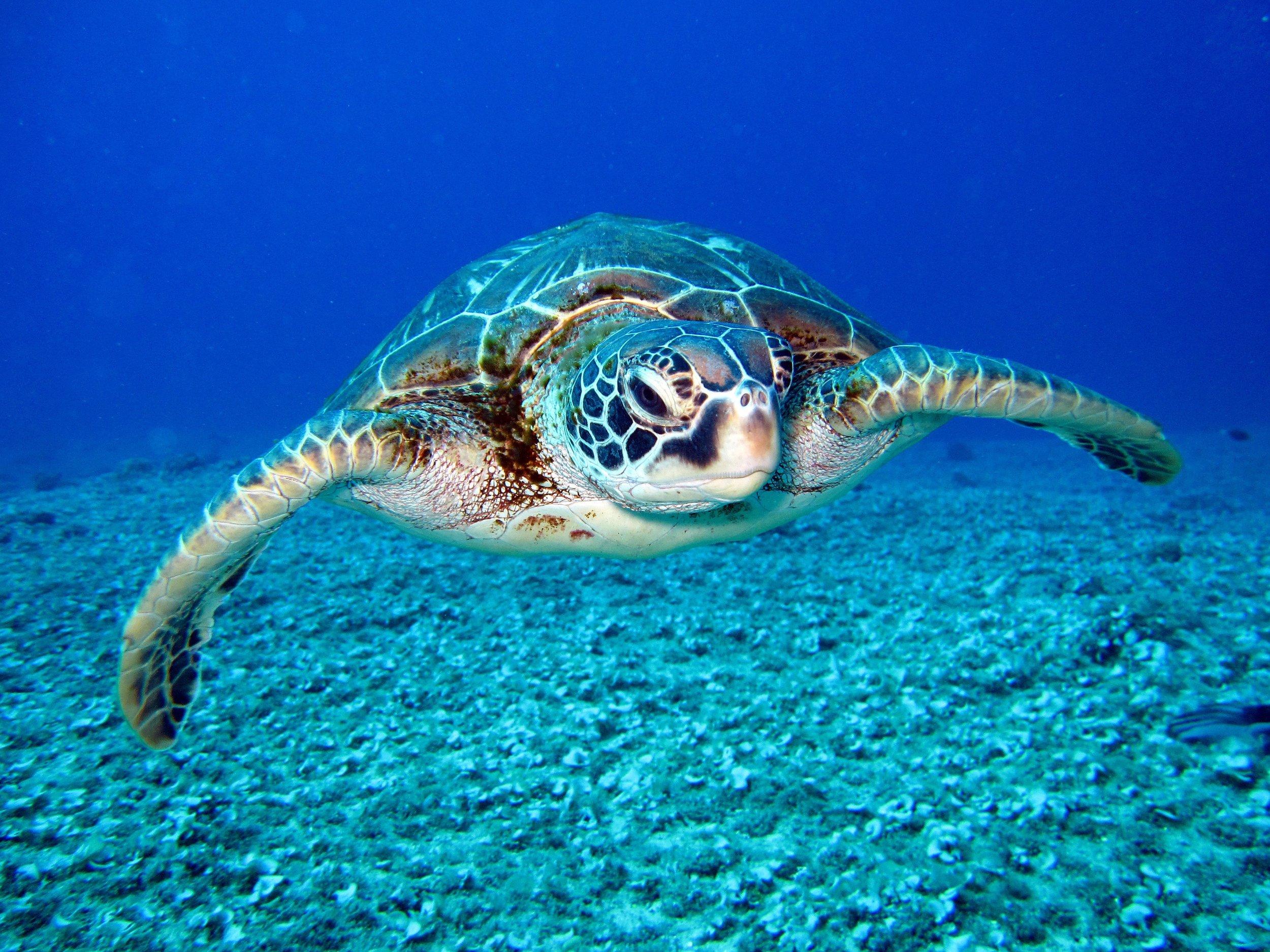 sea.turtle.jpg