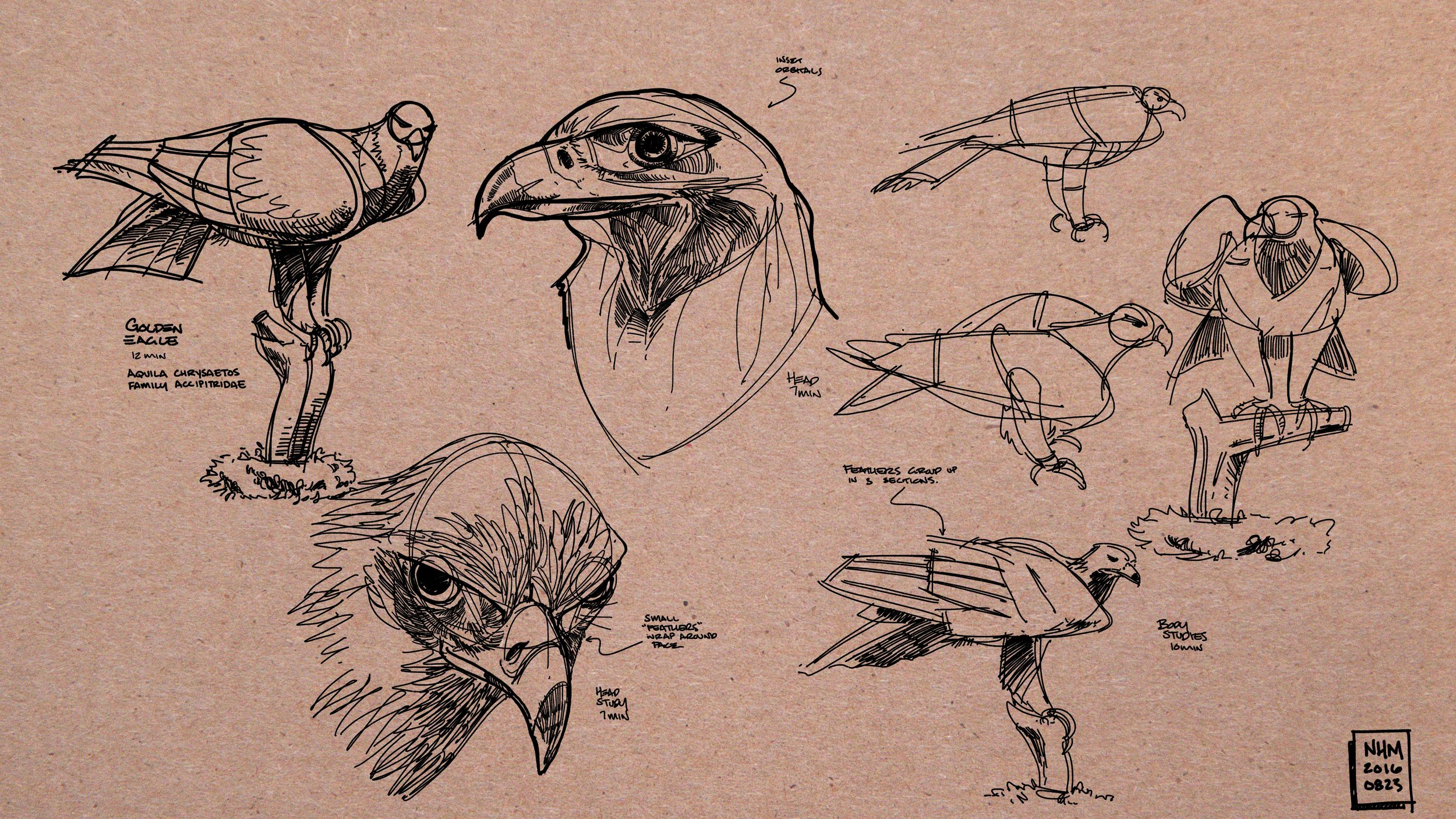 NHM_-_golden_eagle.jpg