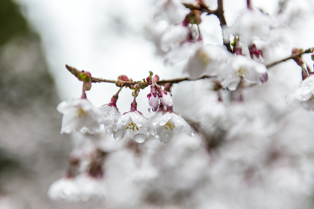 Blossom After the Rain #2