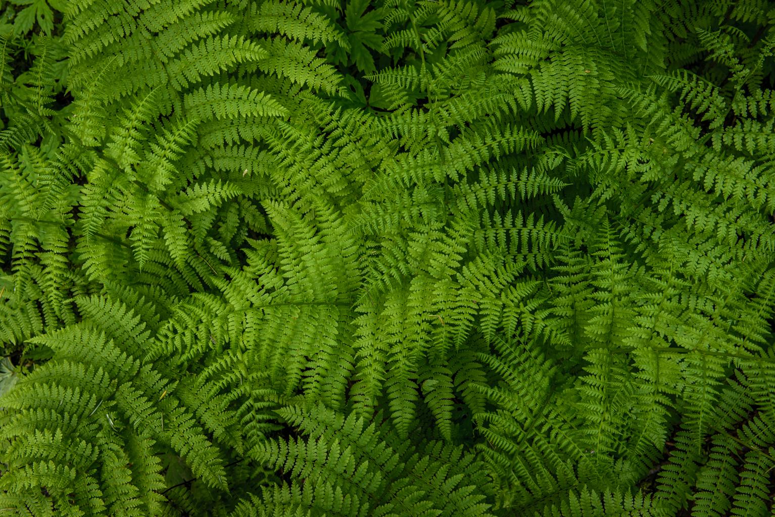 Spring Ferns II