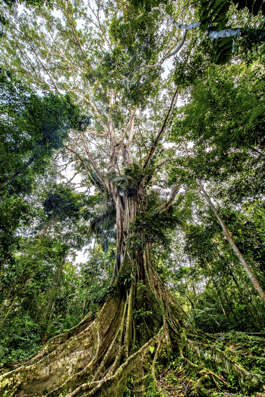 Amazon Giant