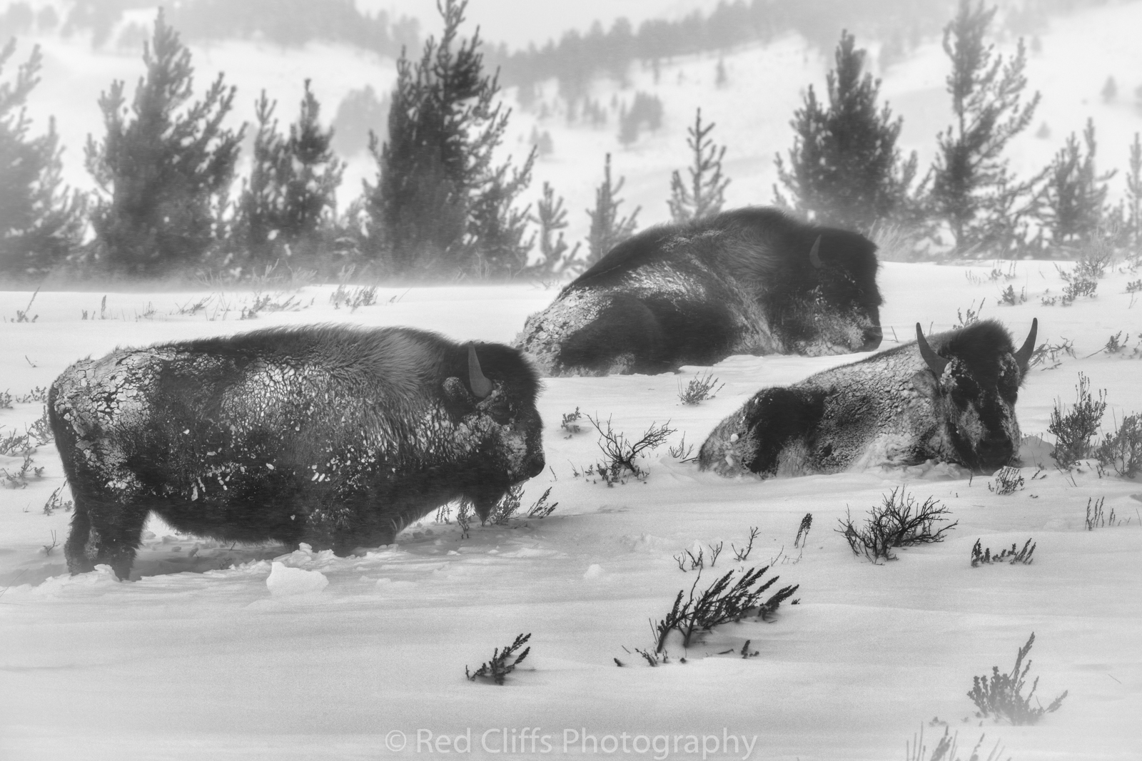 These poor Bison trying to hide from the storm. The 30 plus MPH wind made for some miserable shooting conditions. We hiked out closer to the Bison to get a better angle. the deep snow made for a tough hike. The wind was blowing and this spot was very exposed but the Bison did not appear to mind the conditions.