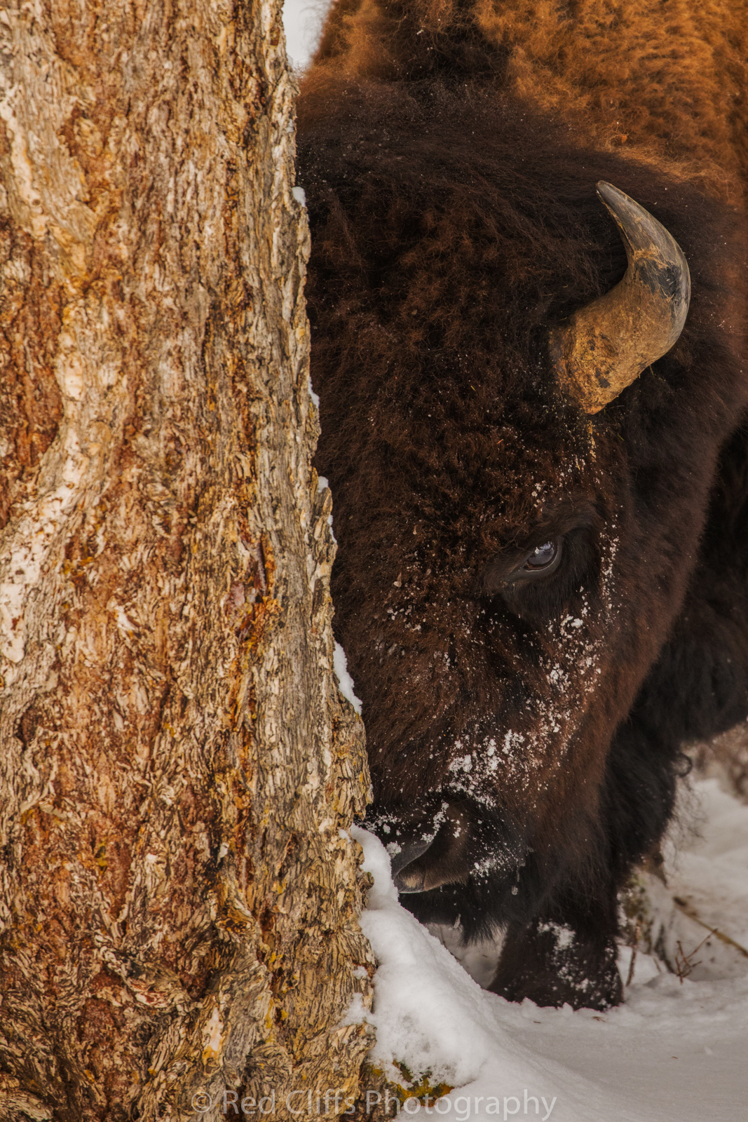 Bison watching me after he had been scratching on this tree.