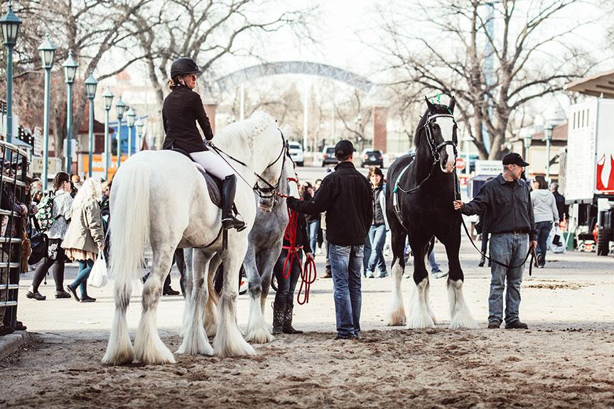Minnesota-Horse-Expo-Alyssa-Smolen-Photography-Jenson-Shires-Draft-Horse.jpg