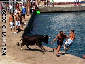 bull+idiots #2: spain Javea Fiesta, Bous a la Mar, bullring Javea port, boys taunt bull, bull charges, boys jump into sea