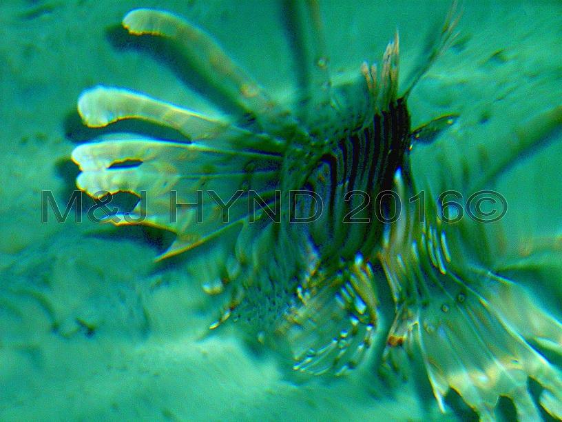 lion fish, Sun Island, Maldives