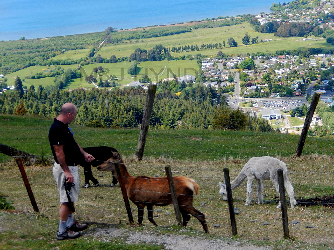 Ngongataha Hill, alpacas, Rotorua in the background, NZ