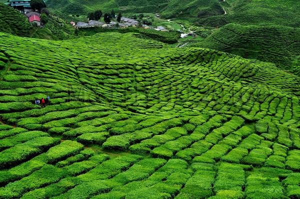 Tea plantation vista, Cameron Highlands, Malaysia