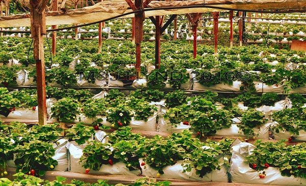 strawberry plantation, Cameron Highlands, Malaysia