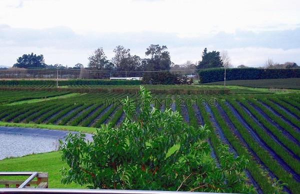 Zealong Estate, tea bushes, Waikato, NZ
