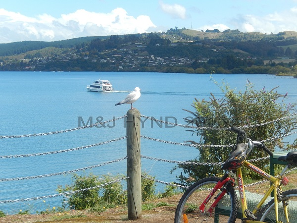 perched seagull overlooking Lake Taupo, Taupo, NZ