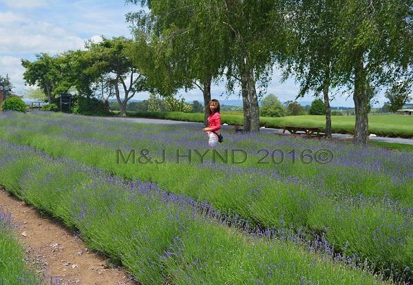 lavender farm, Kihikihi, Waikato, NZ