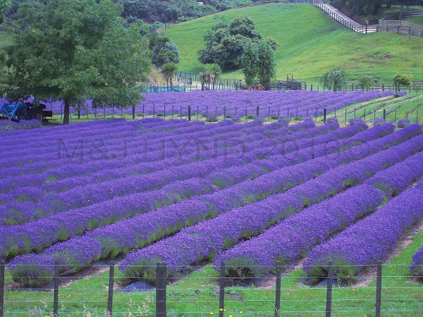 lavender farm, Rotorua, Waikato, NZ