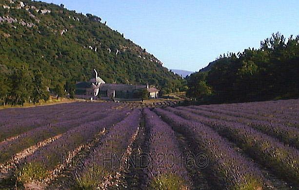 Senanque Abbey, lavender field, Senanque, Provence, France