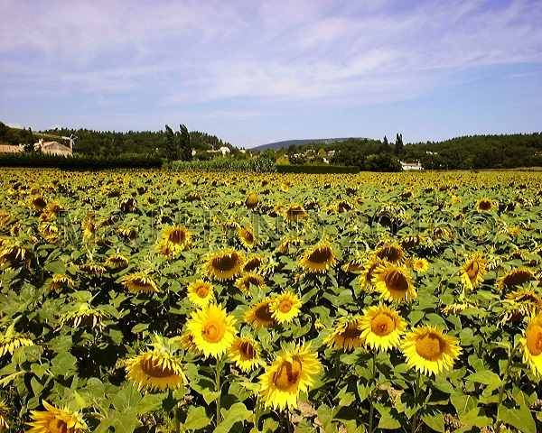 sunflowers, Senanque, Provence, France