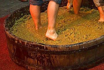 Vilagrad Wines harvest festival treading grapes, Ohaupo, Waikato, NZ