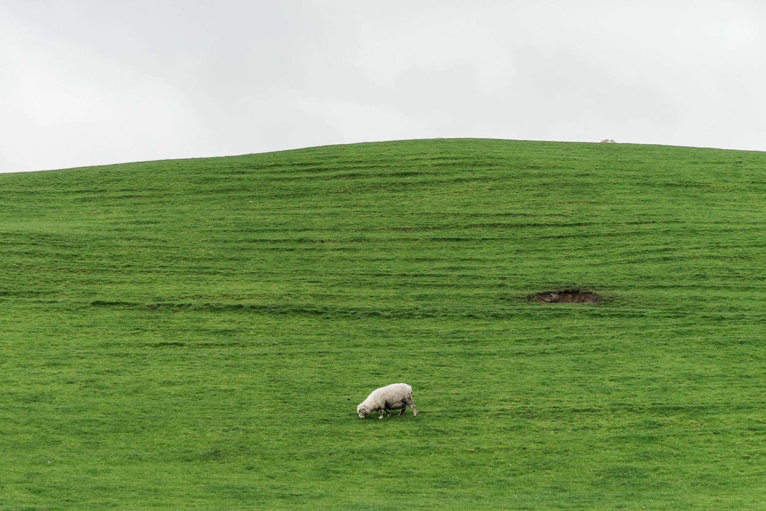 Hobbiton Sheep