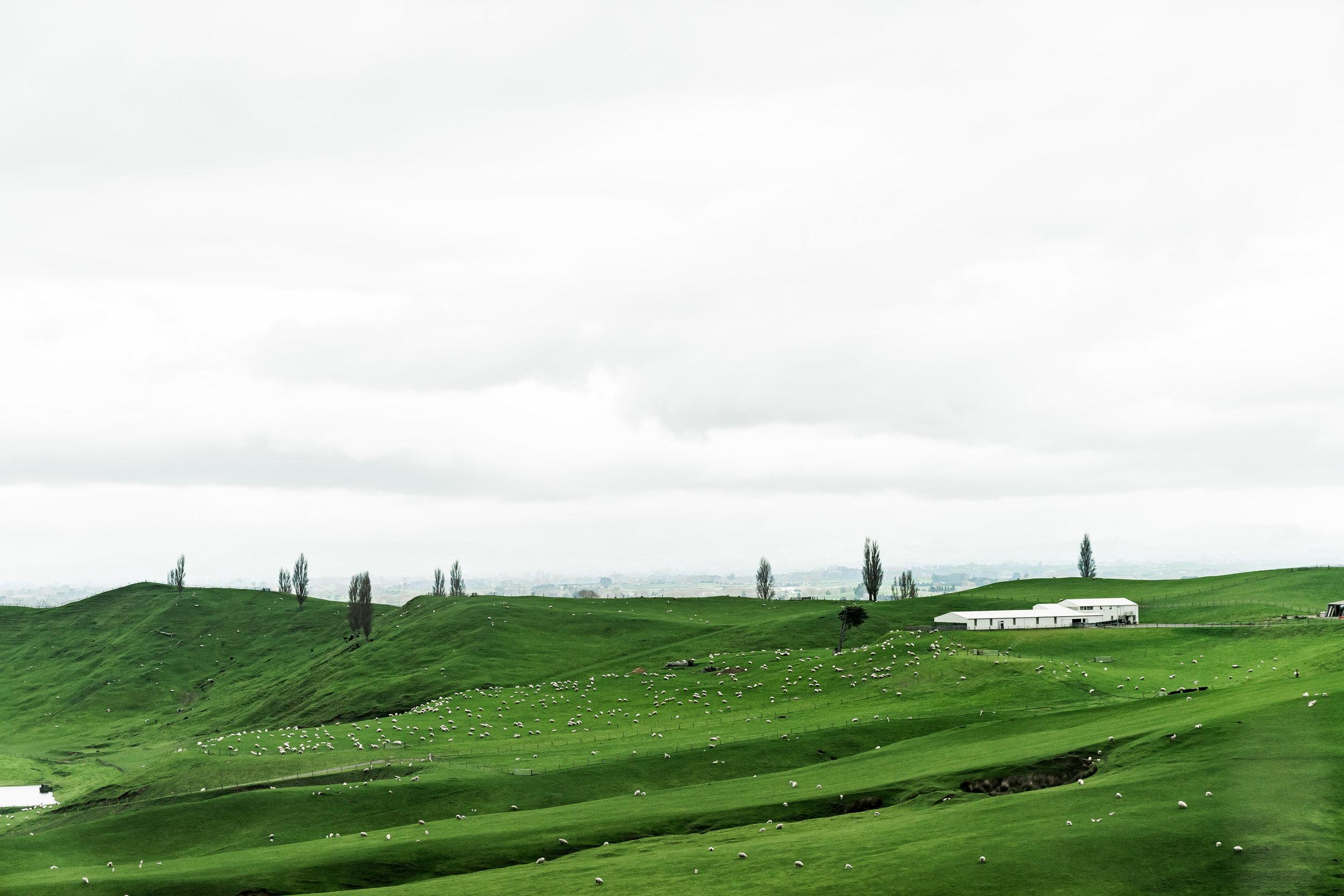 Matamata Sheeps
