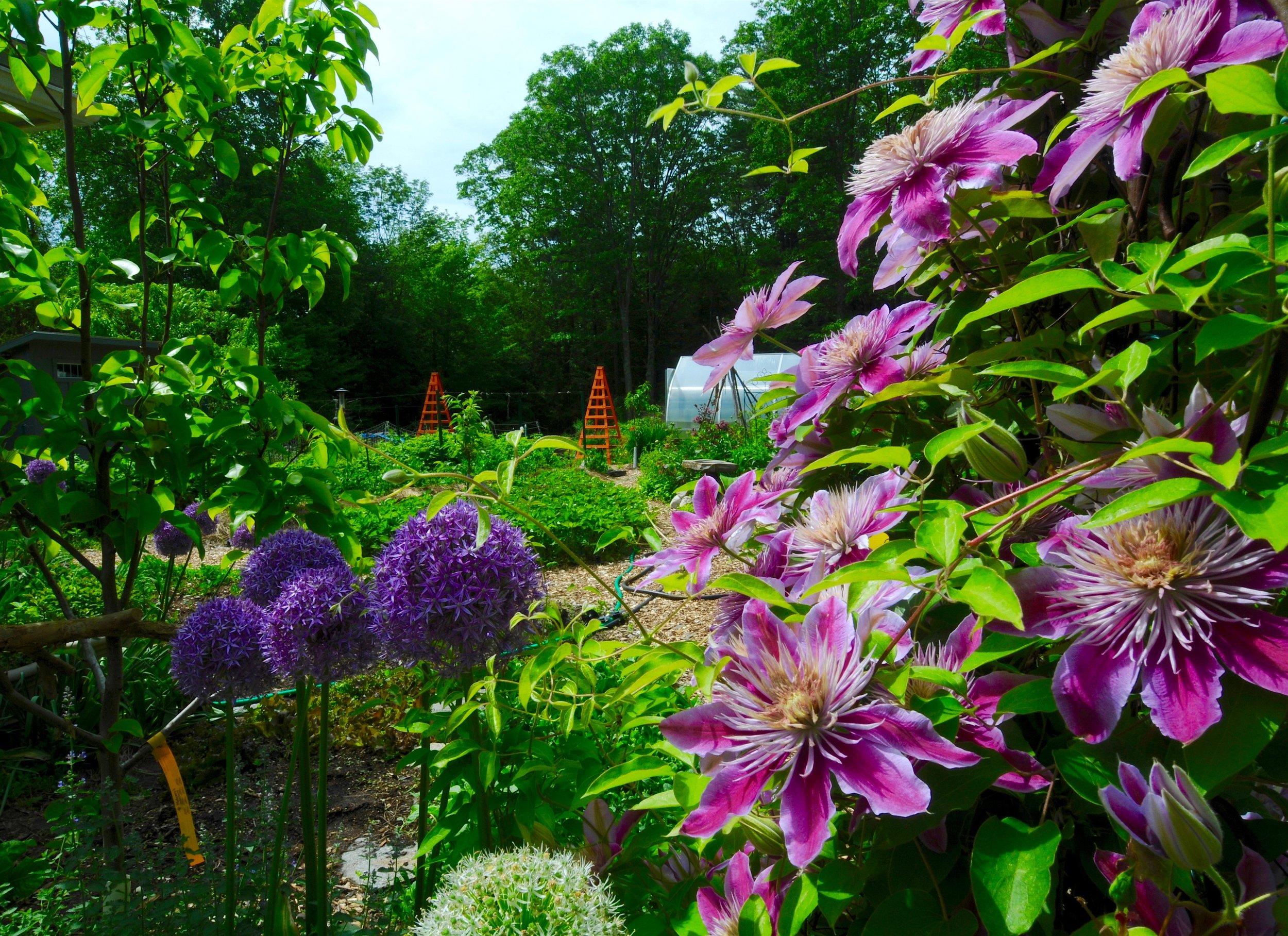 Asian pear fruit trees, flowers, edible garden, .jpg