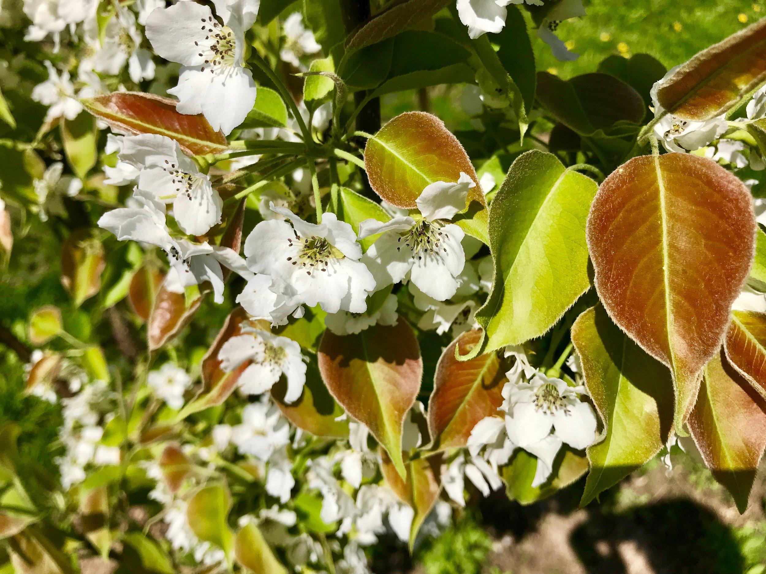 Asian pear flowers.jpg