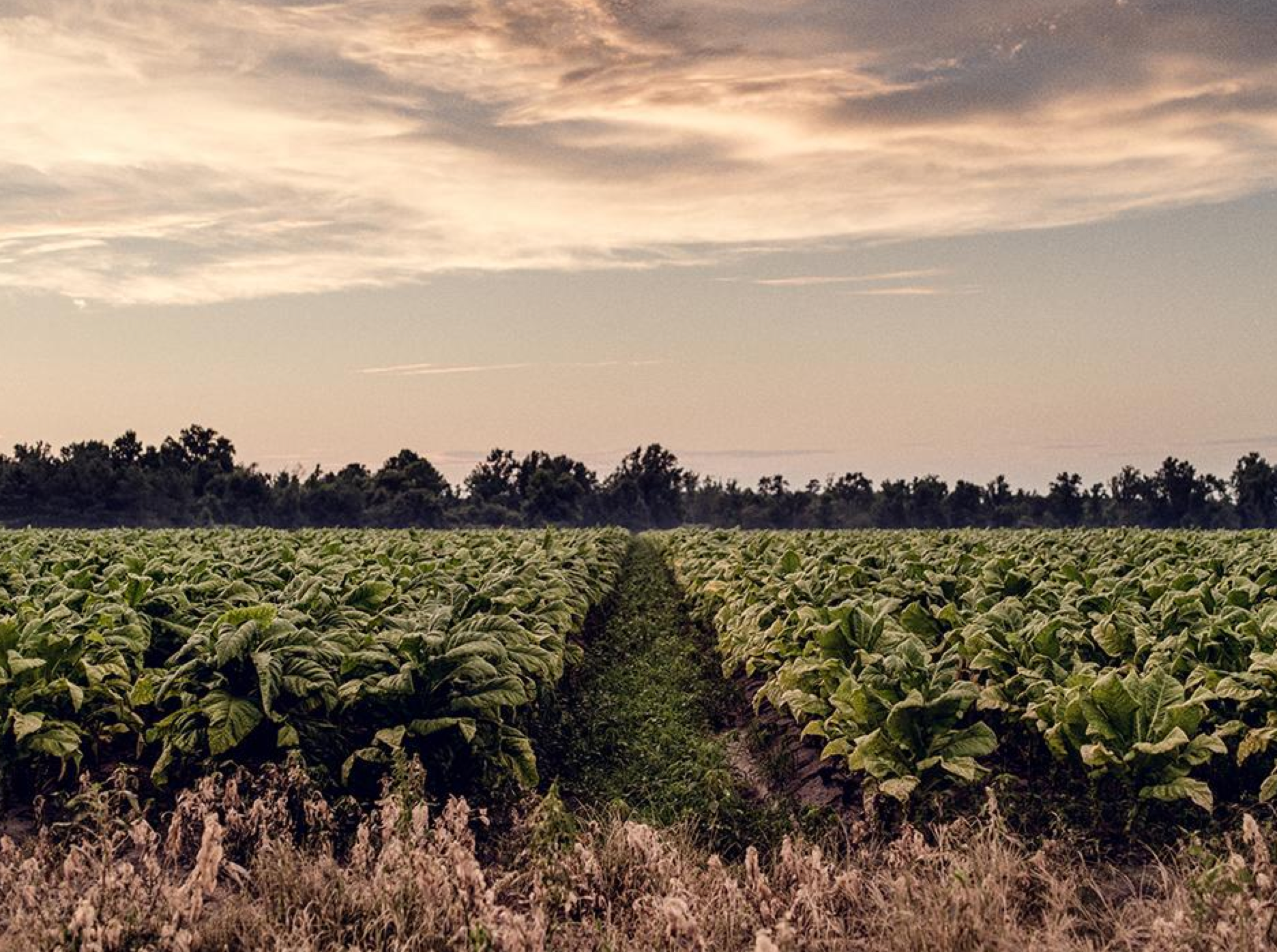 Tobacco Field, North Carolina © Benedict Evans for Human Rights Watch 2015