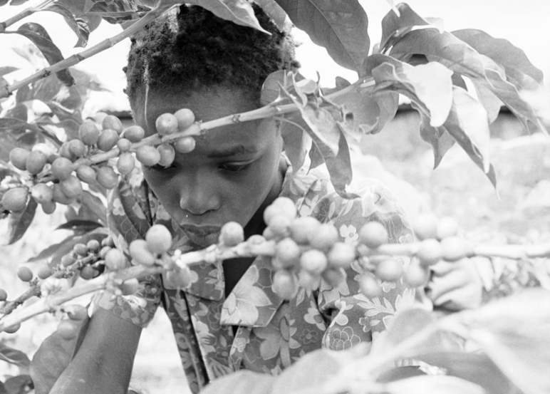 KENYA: COFFEE FARMS - In the Rift Valley of Kenya, 60% of the workers on this coffee plantation are girls under 14 years of age. Children work hungry and the girls are prey for overseers.©Robin Romano