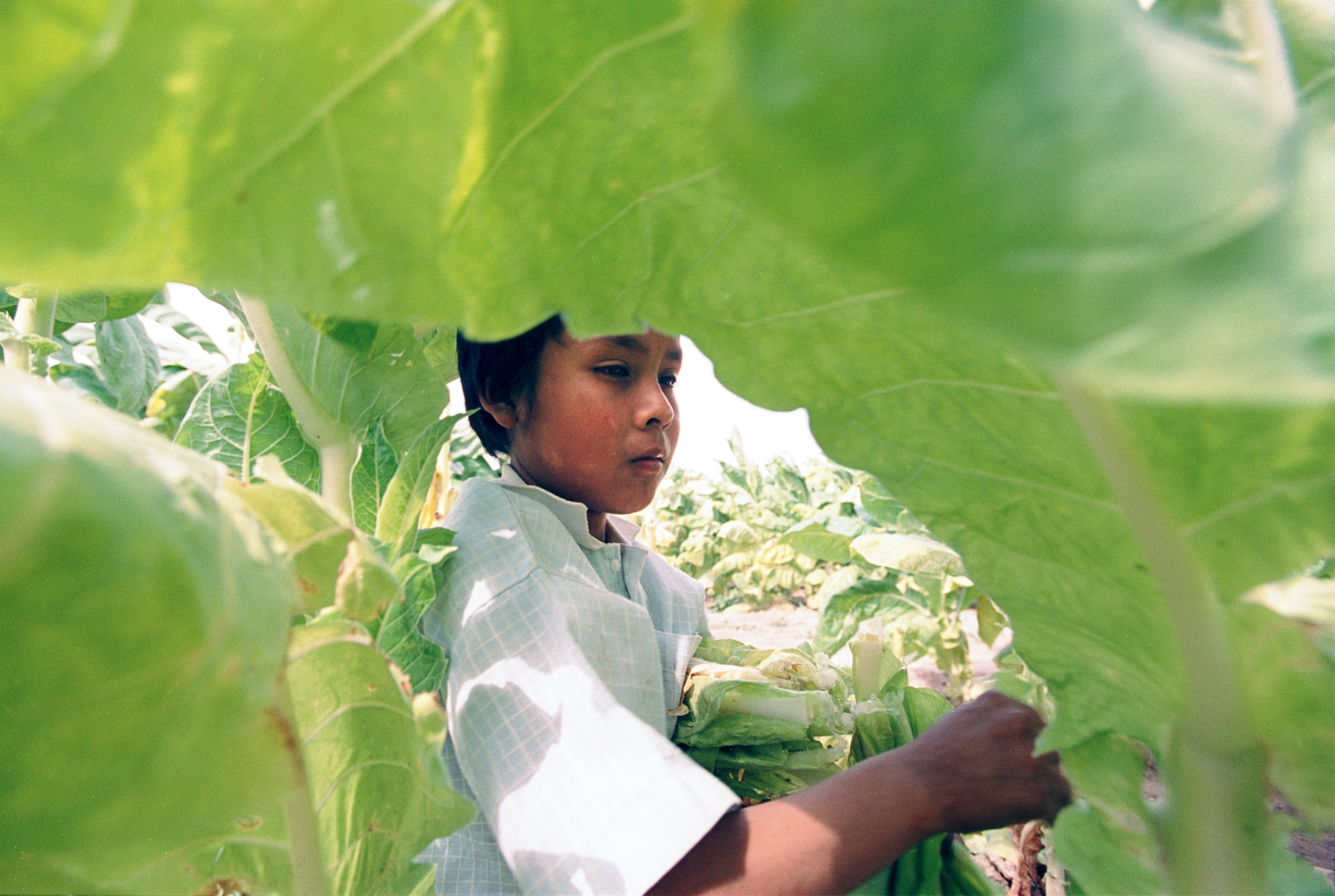 Boy Picking Tobacco (Nayarit- Mexico)