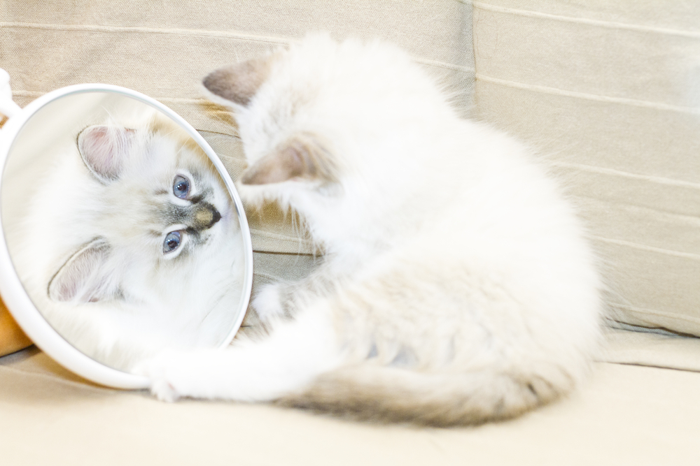 mirror_cat_shutterstock_261775046.jpg