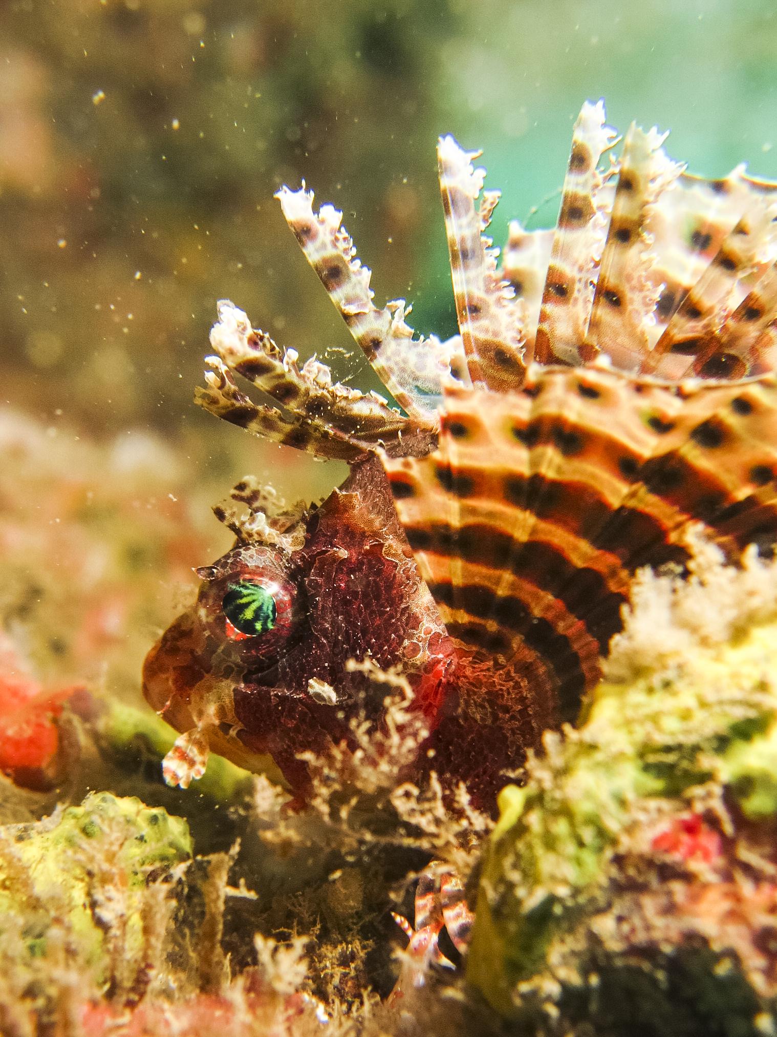 Dendrochirus brachypterus , Dwarf Lionfish