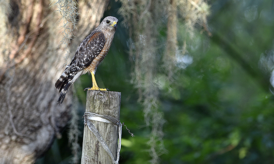 Our ellusive red shouldered hawk photographed near Sunset and Bayshore
