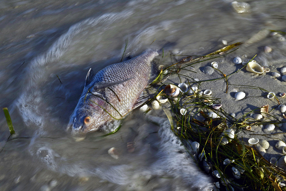 One of thousands. A dead fish rolls with the incoming tide. Gasparilla State Park. Boca Grande.