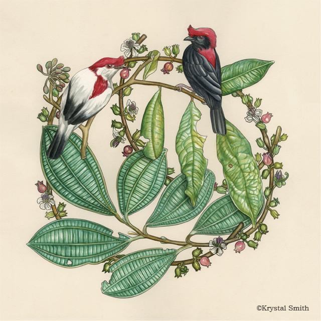 Antilophia is a genus of passerine birds in the manakin family. The species include: Helmeted manakin ( Antilophia galeata ) and araripe manakin ( Antilophia bokermanni ).