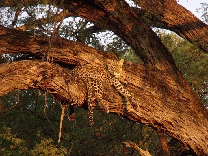 LEOPArd safely resting - Botswana