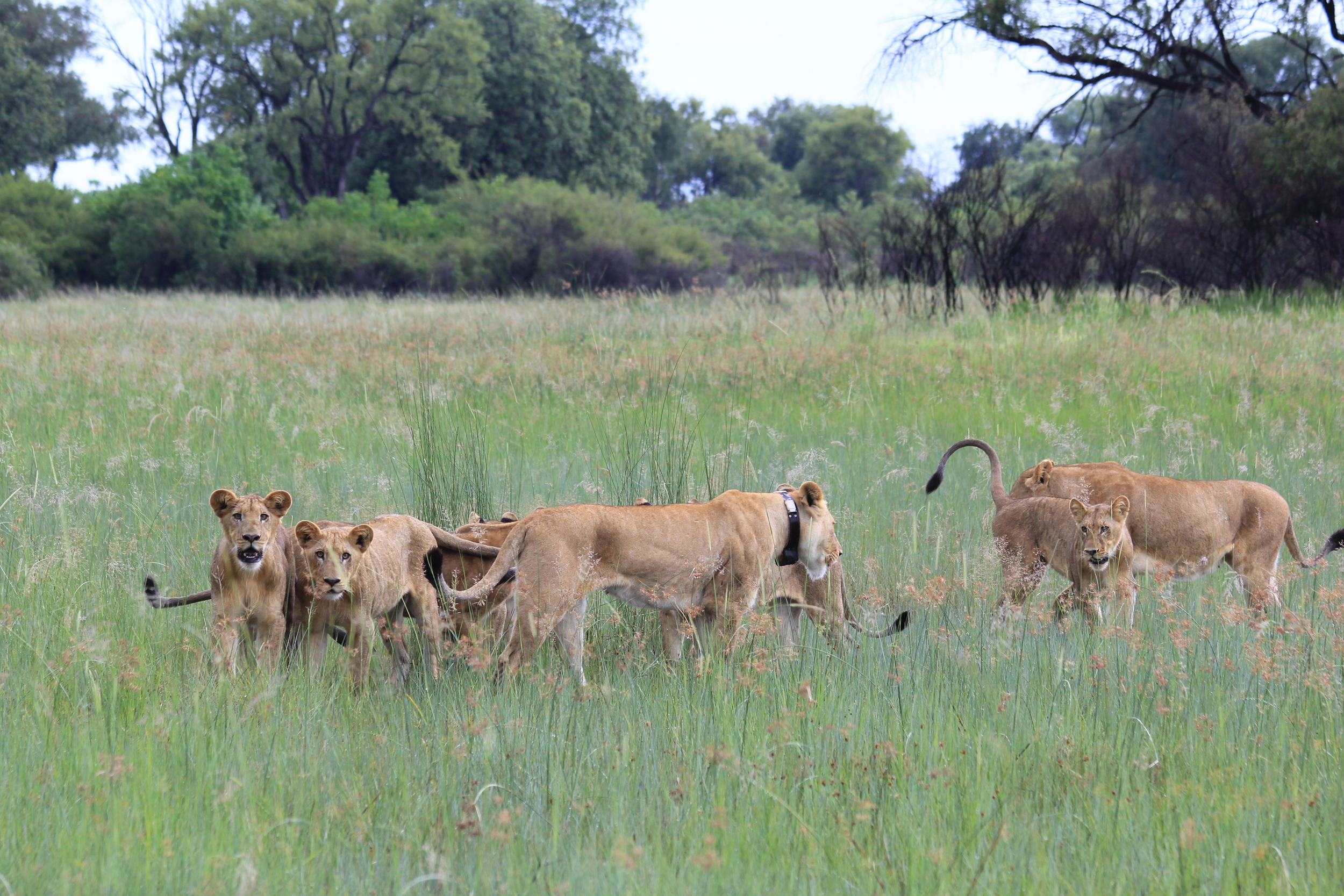 "Mayenga (""Decorated by the Gods"") sporting her satellite tracking collar as she walks among her cubs"