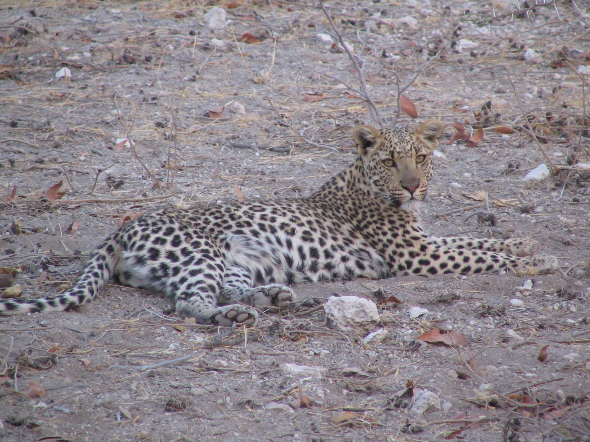 Female leopard in Etosha National Park, Namibia