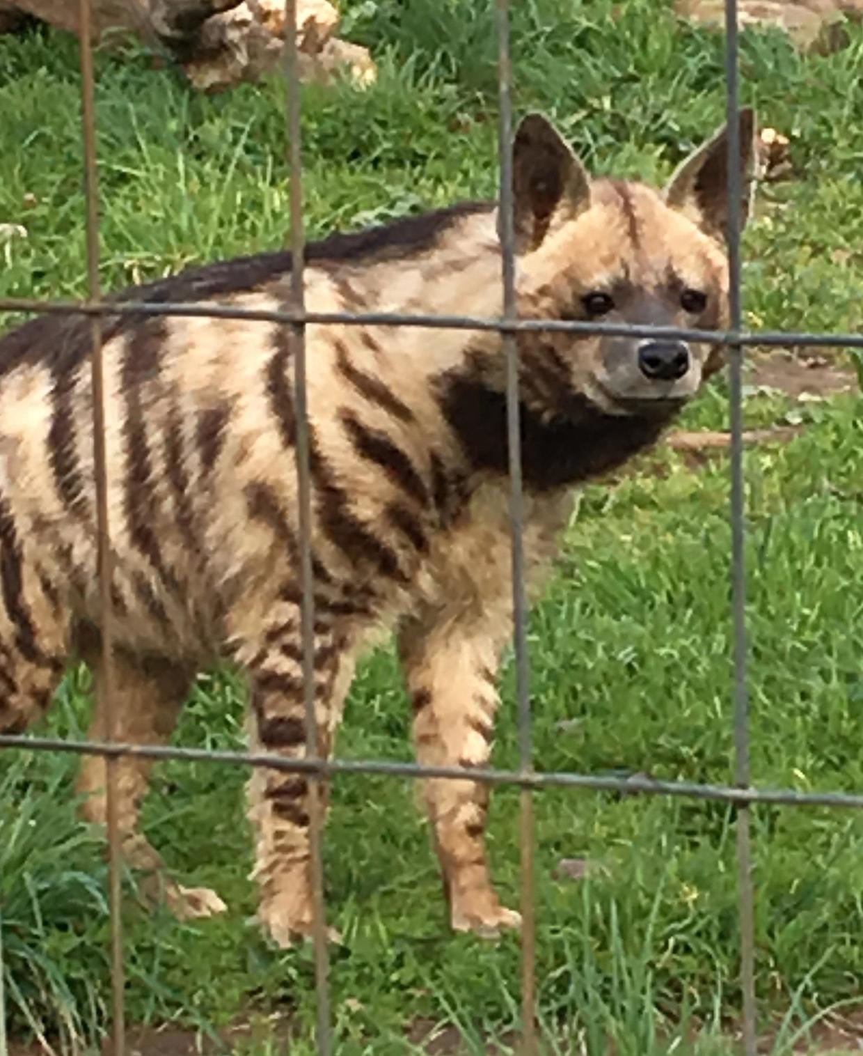 Striped Hyena at Safari West, Santa Rosa, CA