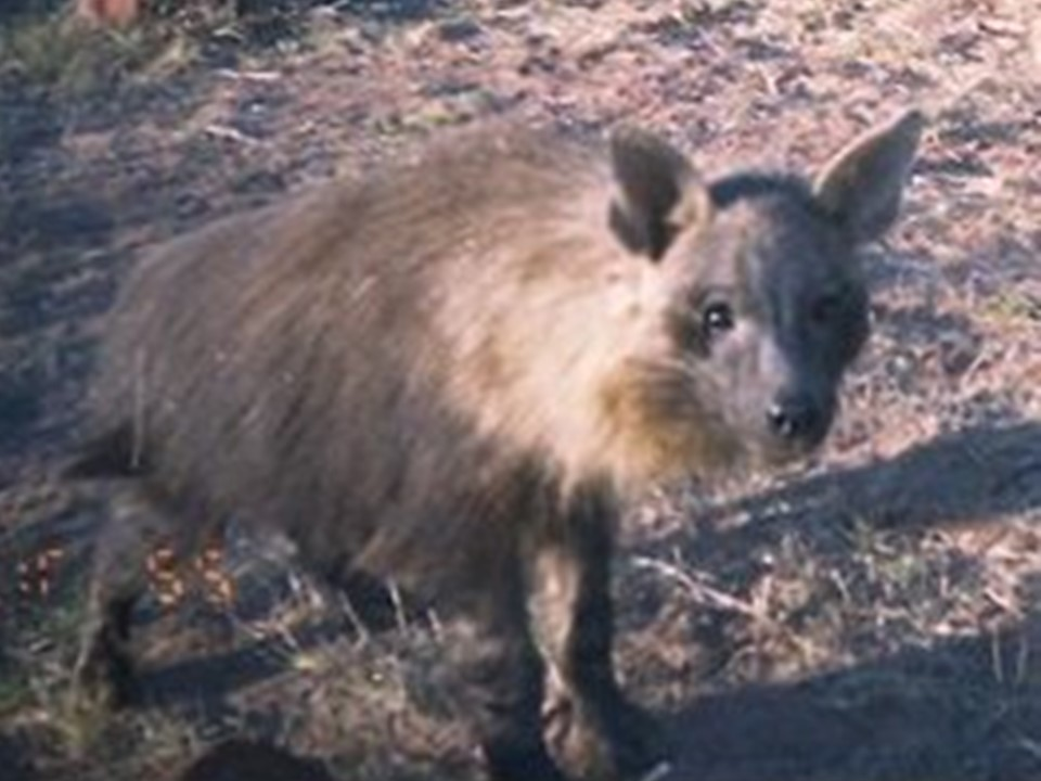 Brown Hyena photographed on the farmlands of Namibia