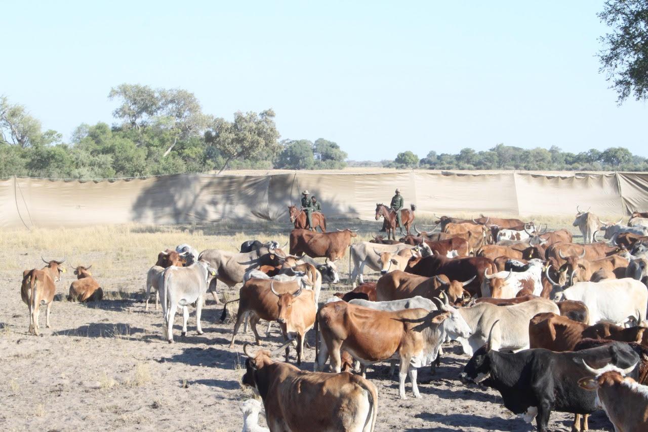 Herd in kraal1.jpg