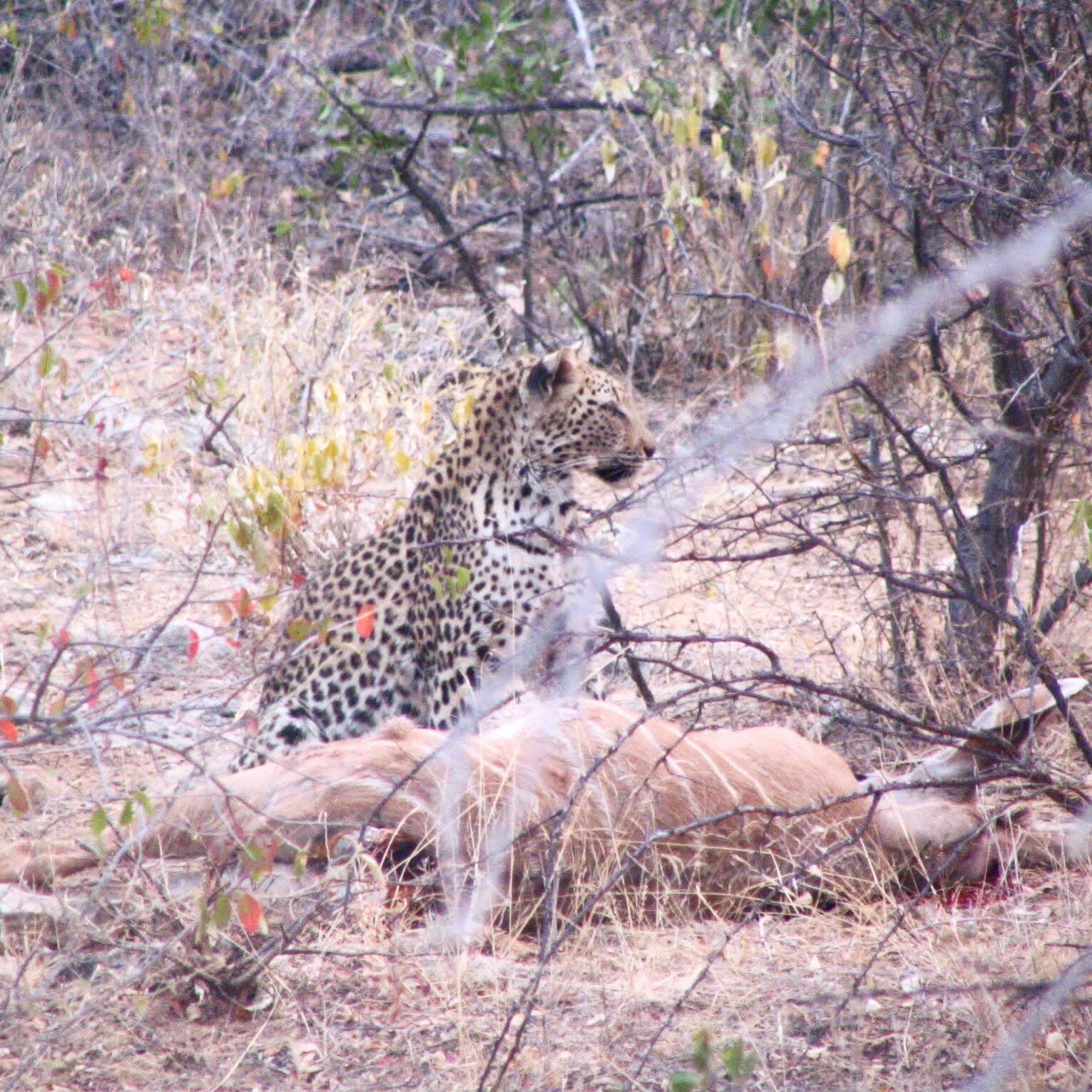 Female leopard in Etosha National Park, Namibia