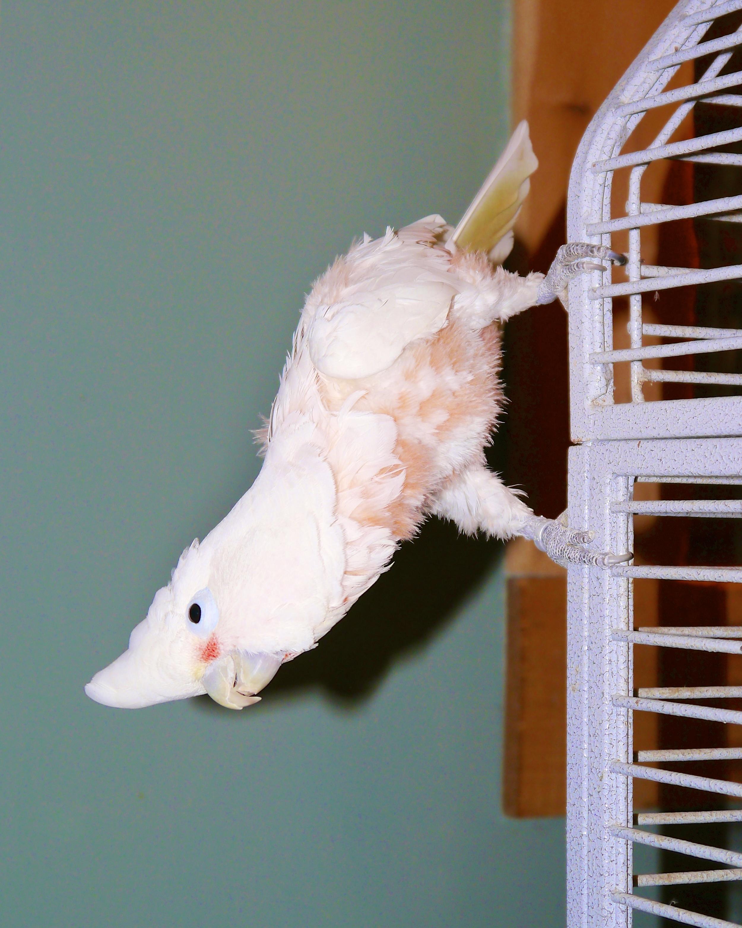 Foster Parrots - Watusi.jpg