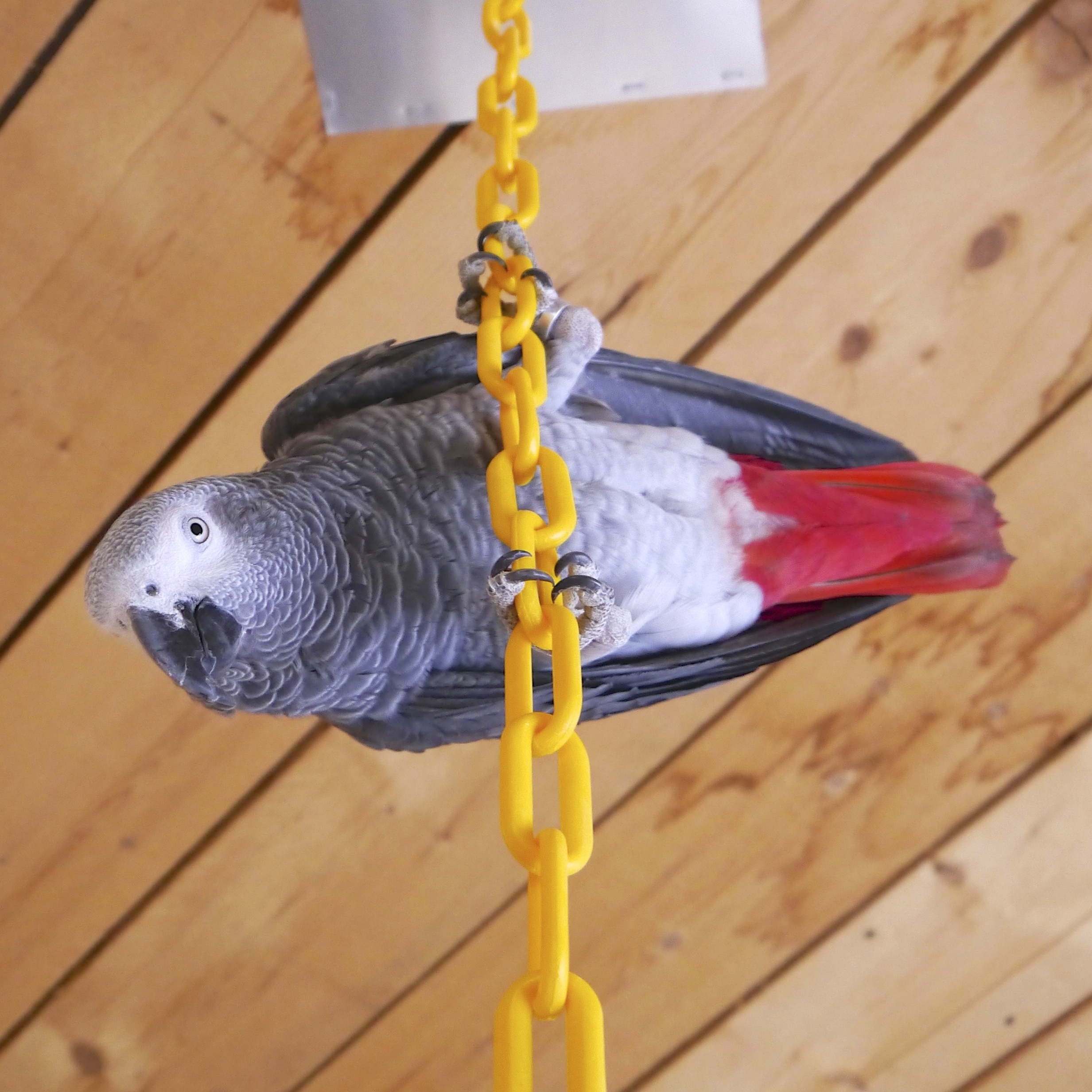 Foster Parrots - Pip - Version 2.jpg